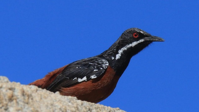Male Rockjumper in the Swartberg mountains
