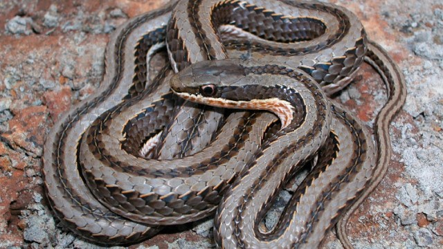 The Tanzanian grass snake discovered by Rhodes researchers. Image: SUPPLIED