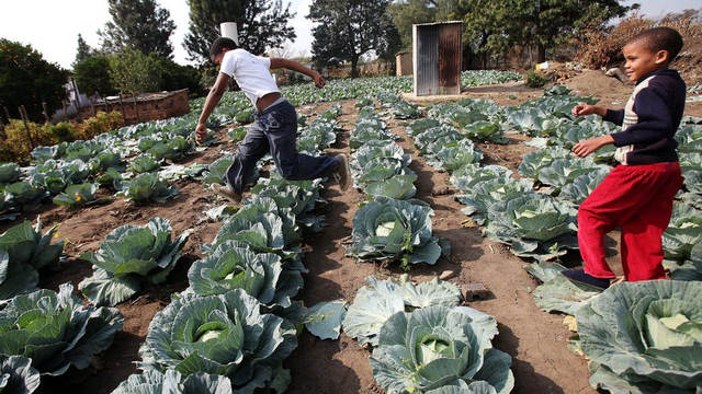 Children play in a cabbage patch near their home in Modderspruit
