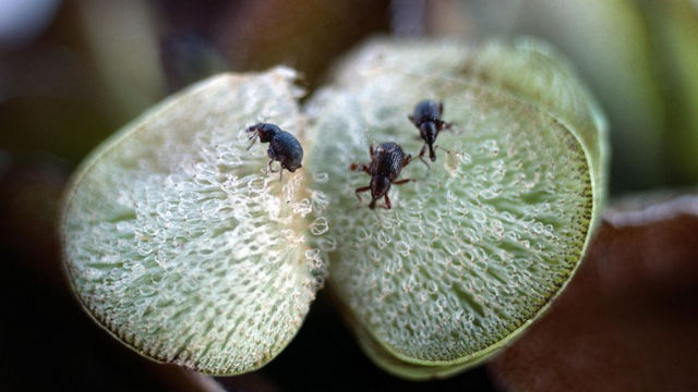 The larvae of the Salvinia weevil are highly destructive and can bring a freshwater habitat back into ecological balance (Credit: Alamy)