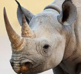 Why plans to legalise rhino-horn trade will fail