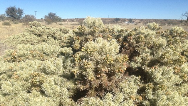 Thistle cholla near Hotazel in the Northern Cape Province of South Africa